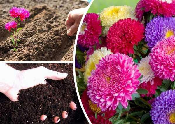 Как сажать астры семенами в открытый грунт: грамотная инструкция от профи