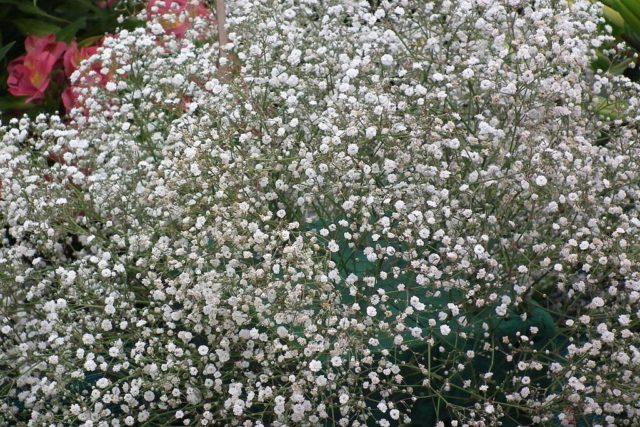 Гипсофила многолетняя Снежинка – белоснежное облако из махровых соцветий