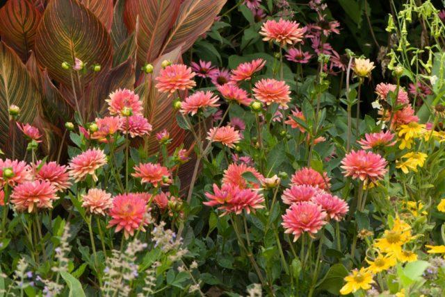 Кактусовидная георгина Дана с завораживающими соцветиями