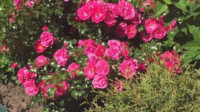 Выращивание почвопокровных роз: золотые правила для новичков