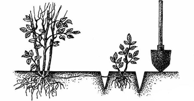 Размножение плетистых роз черенками и отводками: маленькие хитрости