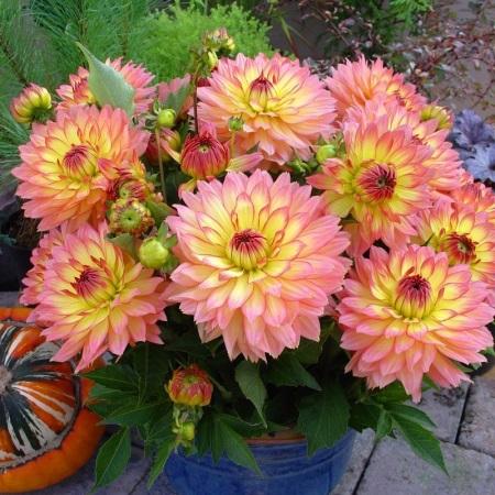 Выращивание георгинов в горшках: советы опытных цветоводов