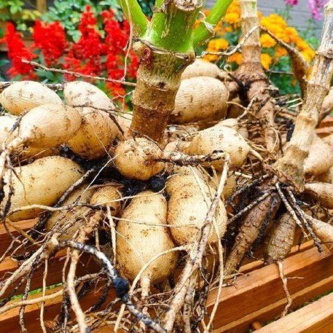 Размножение георгин: самые эффективные способы + пошаговая инструкция