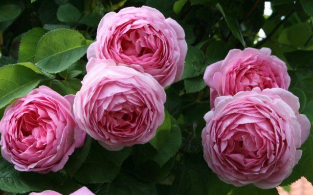 Пионовидные розы: лучшие сорта, по мнению экспертов и отзывам покупателей