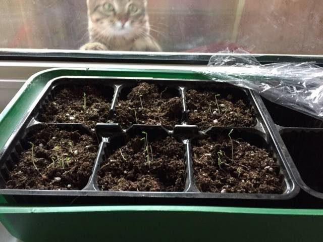 Как вырастить схизантус из семян: пошаговый алгоритм