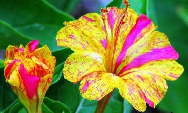 Как вырастить мирабилис из семян: советы бывалых   пошаговая инструкция