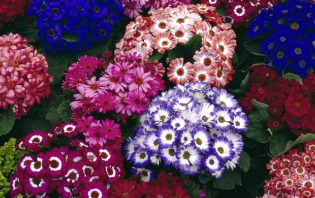 Великолепная цинерария: мастер-класс по выращиванию из семян   фото цветов