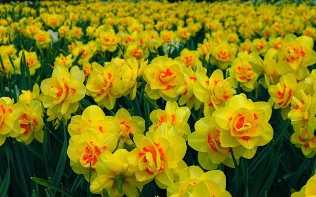 Луковицы цветов купить дешево - почтой в Украине Флориум