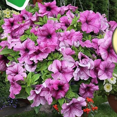 Уникальная петуния Сферика с огромными ароматными цветами