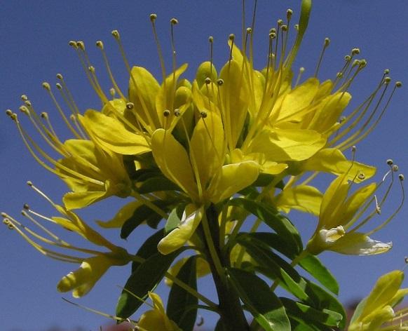 Как вырастить клеому из семян - брызги шампанского в цветочной клумбе