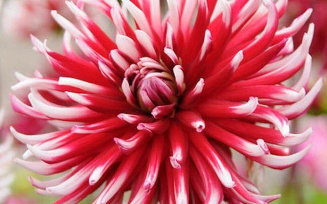 Кактусовая георгина – желанная гостья в любом саду