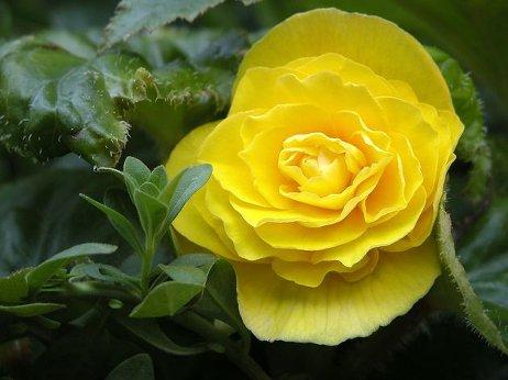 Бегония Грандифлора с большими цветами сочных оттенков