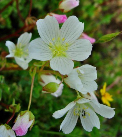 Как вырастить Лимнантес – цветок-яичница на клумбе