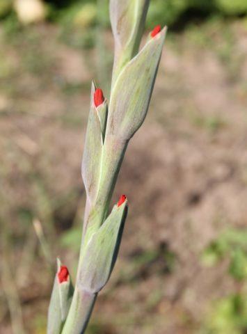Лучшая подкормка для гладиолусов – роскошное цветение на зависть соседям