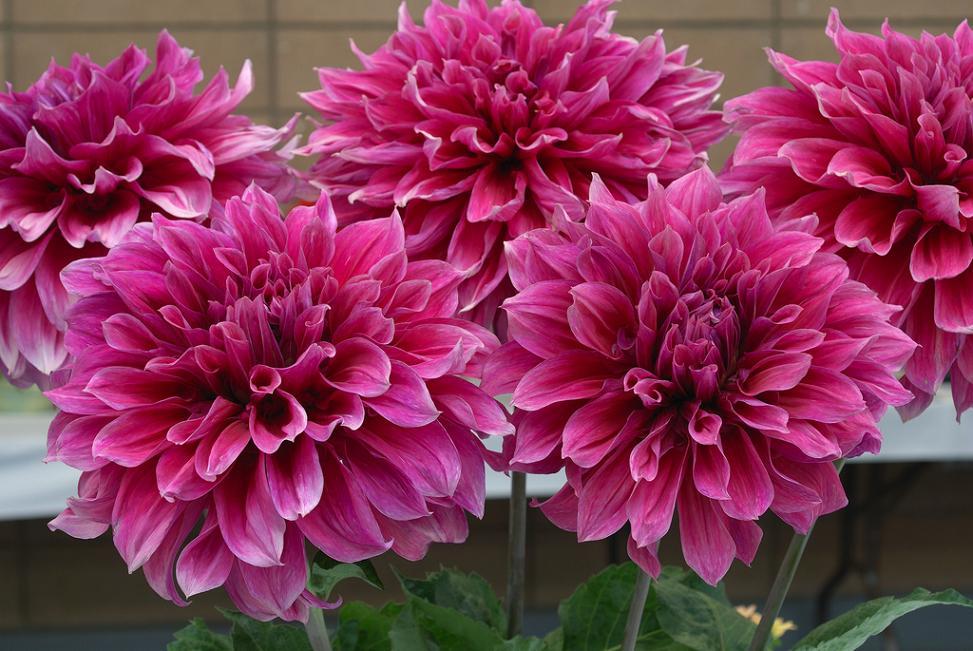 Крупные (крупноцветковые) георгины: сорта с фото