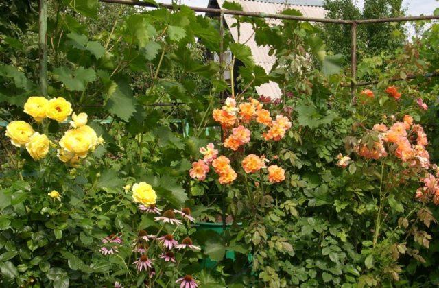 Плетистые розы в дизайне сада: потрясающие идеи для вдохновения + фото