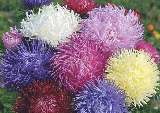 Астра игольчатая с уникальными соцветиями: секреты выращивания + фото