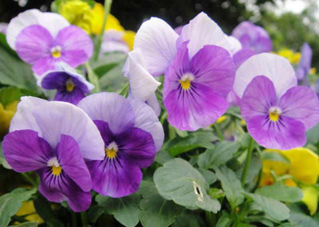Милые и нежные анютины глазки: как и когда сажать семенами на рассаду