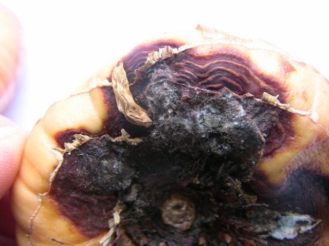Самые опасные болезни и вредители гладиолусов: симптомы и борьба