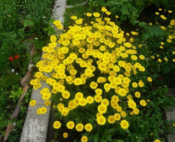 Многолетники желтого цвета для создания солнечной клумбы: фото и названия