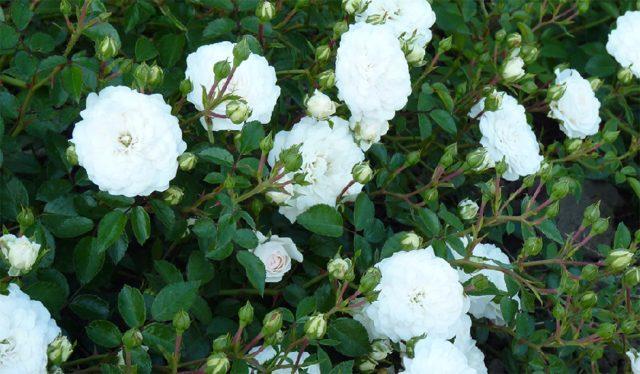 Сорта почвопокровных роз, цветущих все лето – мечта любого садовода