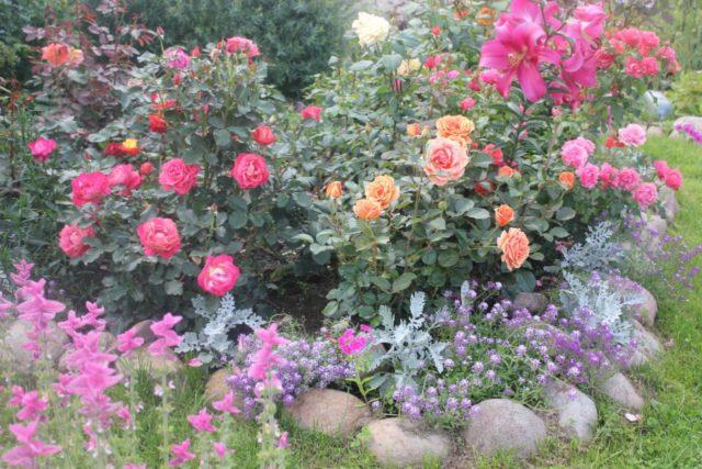 Необычайно нежная Роза Дезире – царица в розовой вуали