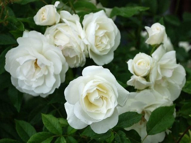 Рейтинг лучших белых вьющихся роз для создания уникального дизайна сада