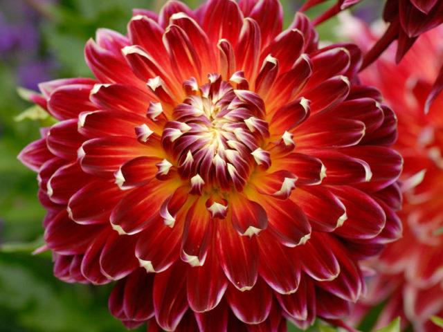 Сорта георгин с громадными и нарядными цветами