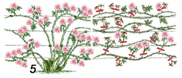 Как обрезать плетистую розу весной: важные нюансы   пошаговая инструкция