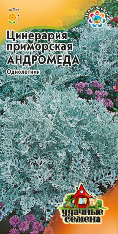 Великолепная цинерария: мастер-класс по выращиванию из семян + фото цветов