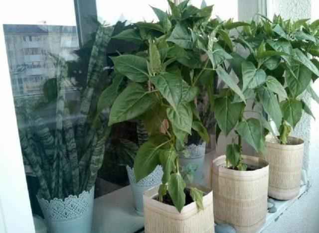 Как вырастить мирабилис из семян: советы бывалых + пошаговая инструкция