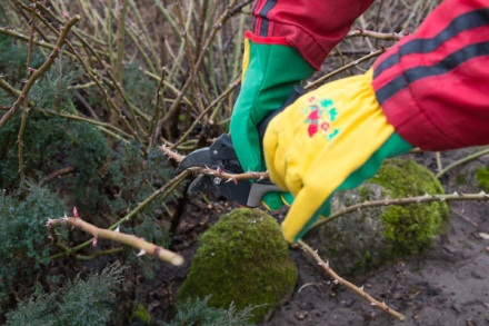 Как обрезать плетистую розу весной: важные нюансы + пошаговая инструкция