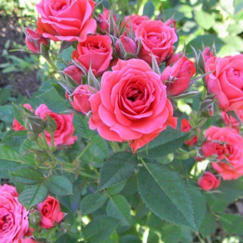 Миниатюрные розы: топ-15 сортов очаровательных малышек с фото и описанием