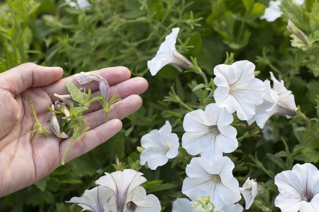 Прищипывание петунии для роскошного цветения: пошаговое фото