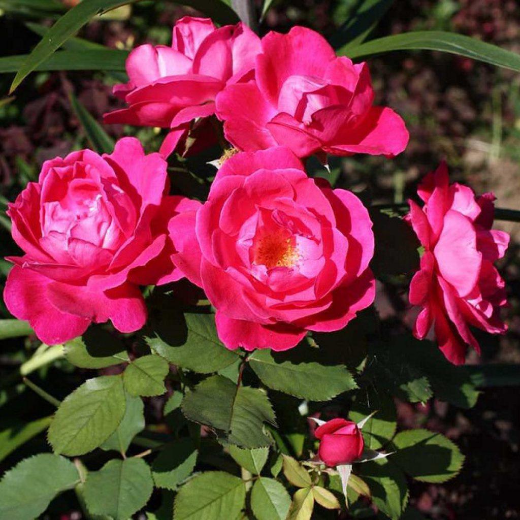 Сорта роз с мелкими цветами