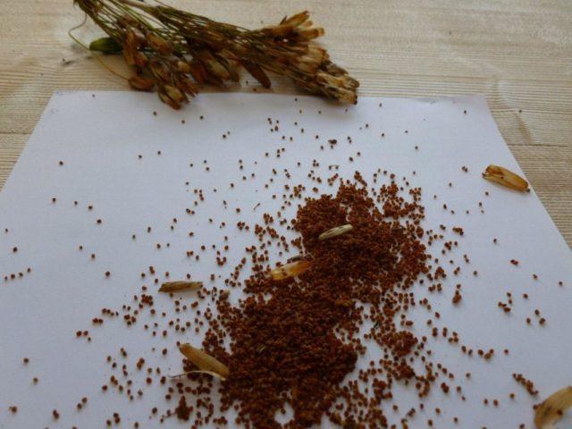 Секреты выращивания примулы в открытом грунте
