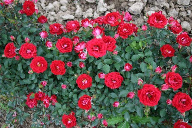 Лучшие сорта миниатюрных роз: посадка и уход