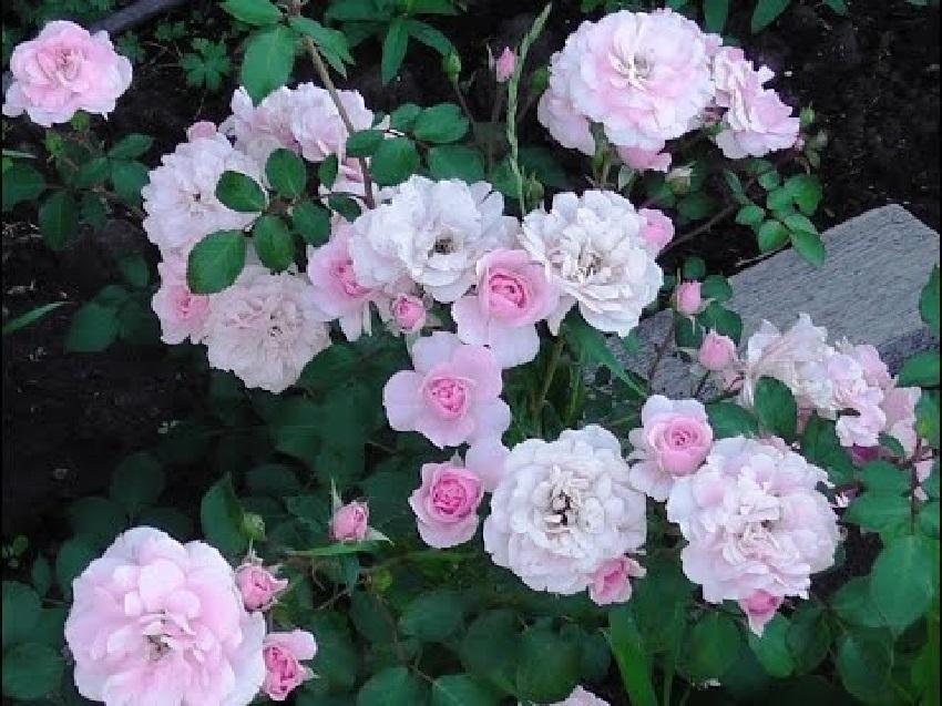 Роза бесконечно розовый