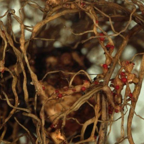 Самые коварные болезни и вредители георгинов - как распознать и победить
