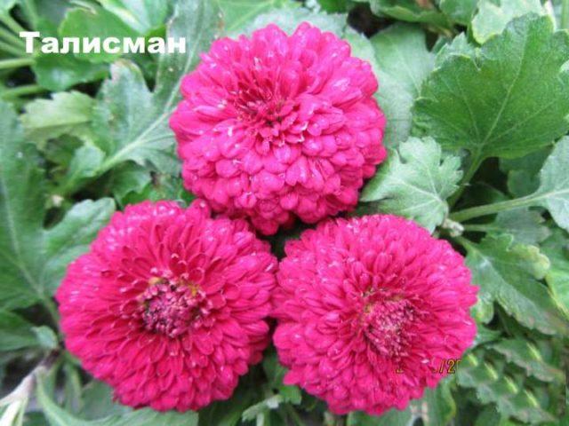 Красивые бордюрные многолетники для украшения дорожек в саду и цветников