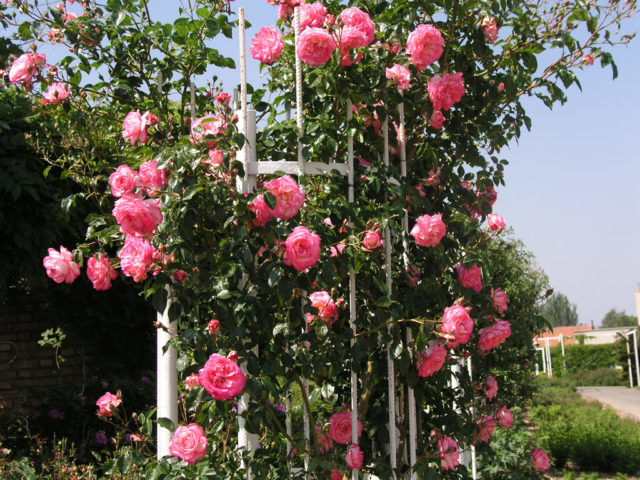 Плетистая роза не цветет: основные ошибки и экстренная помощь