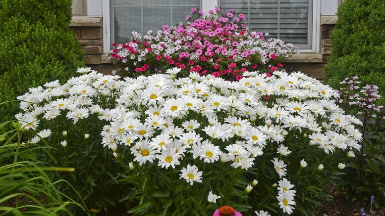 Самые красивые садовые цветы многолетники