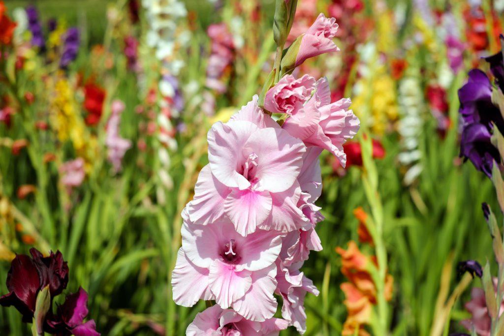 его территория гладиолусы фото цветов в саду неким причинам