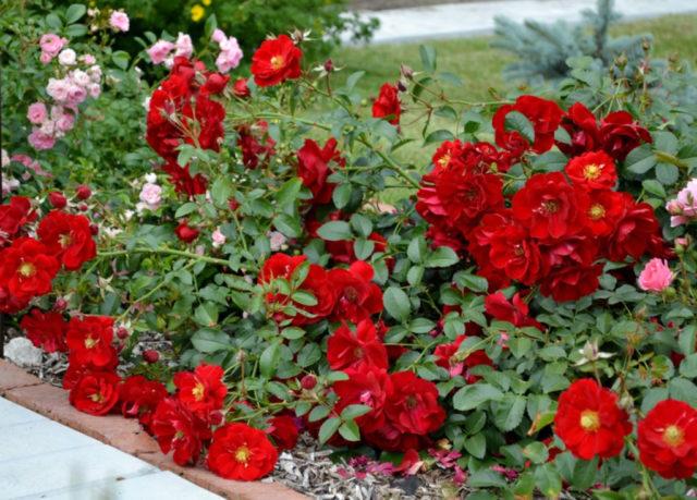 Полиантовая роза: обзор популярных сортов прекрасной незнакомки