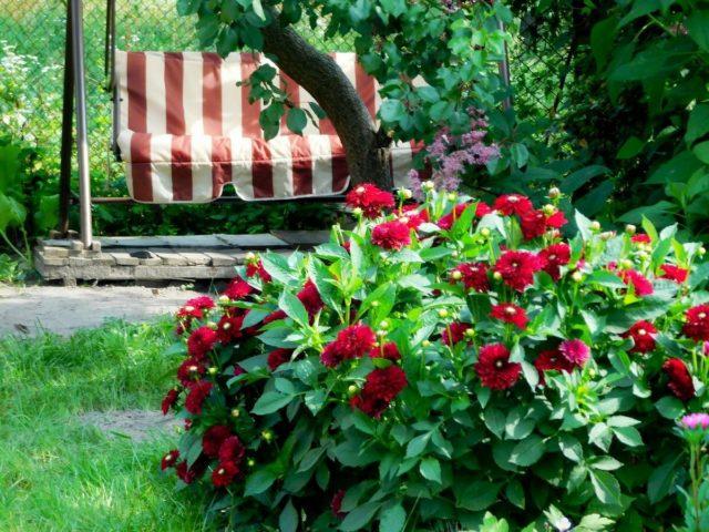 Красочная гергина Гэллери: обзор лучших сортов + секреты выращивания