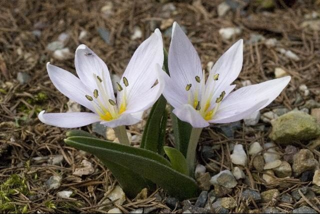 Луковичные многолетники для роскошного цветника на вашей даче
