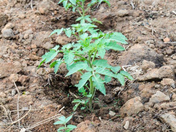 Подкормка томатов после высадки в открытый грунт: обзор лучших средств