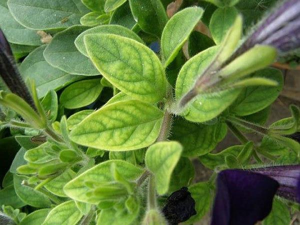 У петунии желтеют листья: главные причины и реанимация