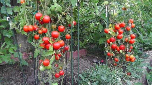 Подкормка томатов в период плодоношения для роста крупных и вкусных плодов