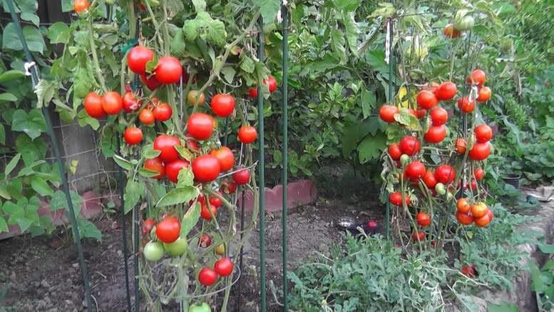 Томаты чем подкормить во время цветения лучшие подкормки для помидор